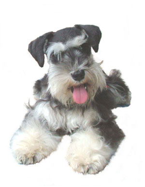Cathys Miniature Schnauzers Akc Breeder Puppies For Salepet Adoption